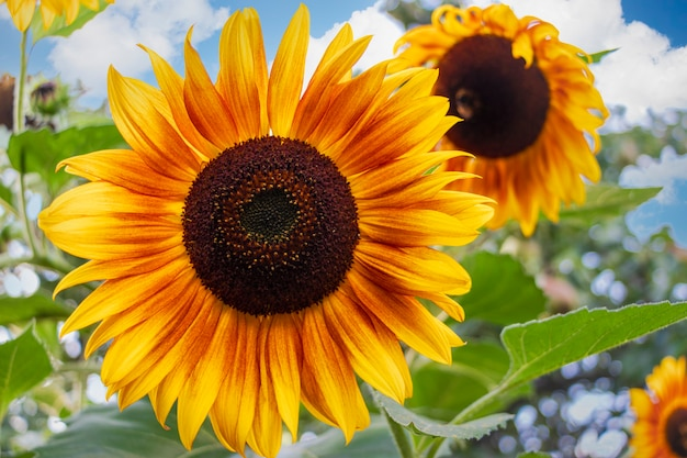 Tournesol lumineux décoratif dans le jardin contre le ciel bleu. contexte de connaissances flou. belle fleur dans le jardin.