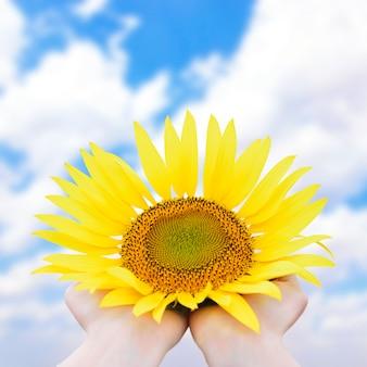 Tournesol lumineux jaune dans les mains gros plan contre le ciel bleu avec des nuages