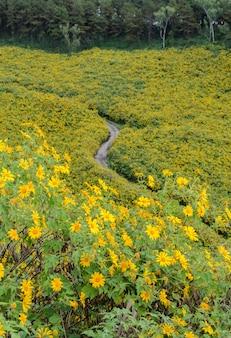 Tournesol mexicain sauvage fleurissant montagne à meahongson, thaïlande