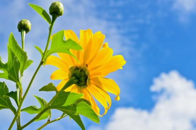 Le tournesol mexicain ou tithonia diversifolia, les fleurs sont jaune vif sur fond de ciel bleu