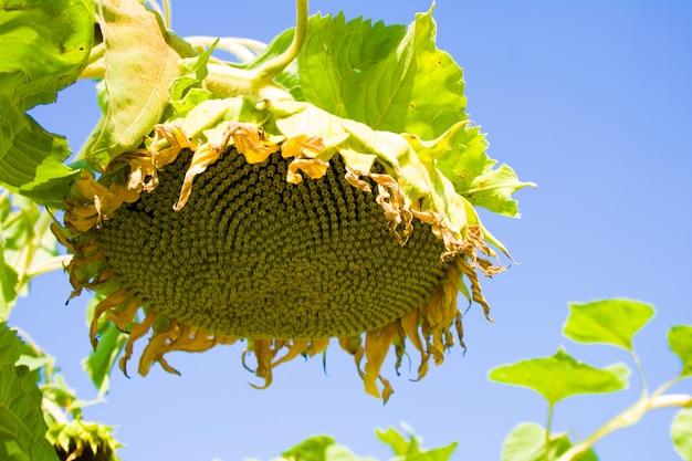 Un tournesol mûr avec des graines contre le fond de ciel bleu
