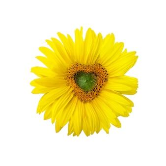 Tournesol mûr avec pétales jaunes et milieu foncé