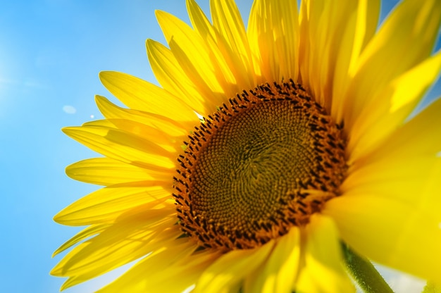 Le tournesol sur le terrain sous le soleil d'été