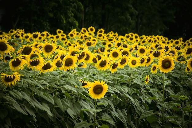 Tournesol. tournesol fond naturel. tournesols qui fleurit dans la ferme.