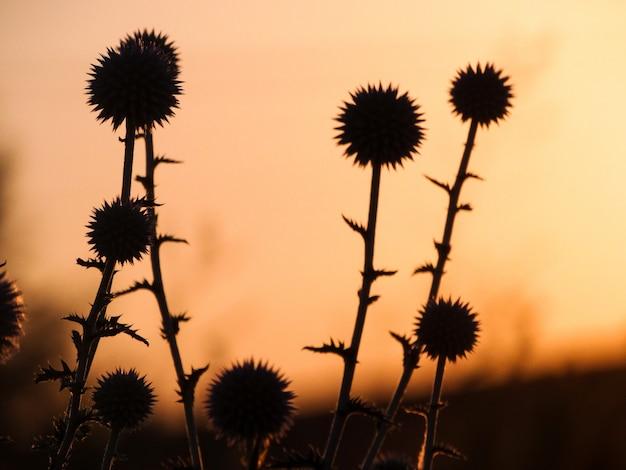 Tournesols au lever du soleil