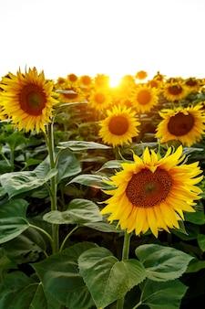 Tournesols dans un grand champ. fleur de près.