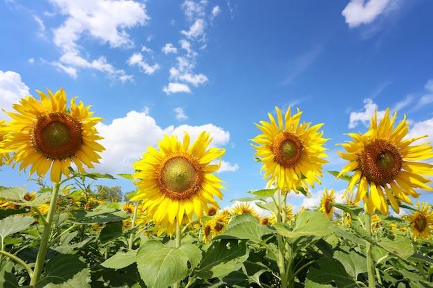 Les tournesols fleurissent sur un ciel bleu