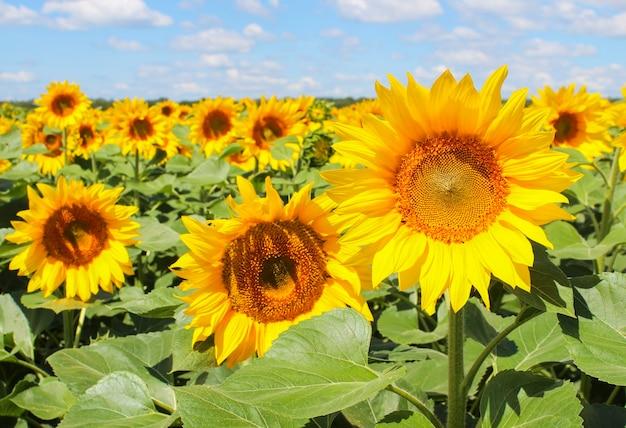 Tournesols en fleurs sur un champ à la ferme