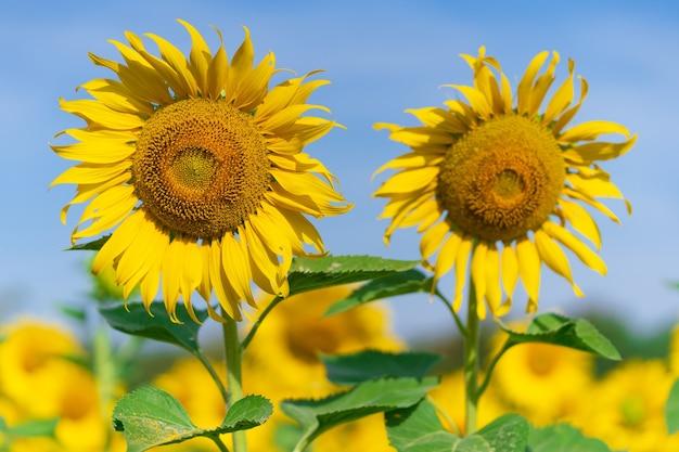 Tournesols en fleurs sur naturel