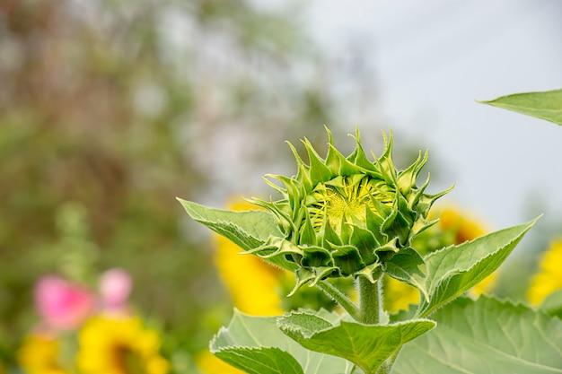 Tournesols ou helianthus annuus dans le jardin.