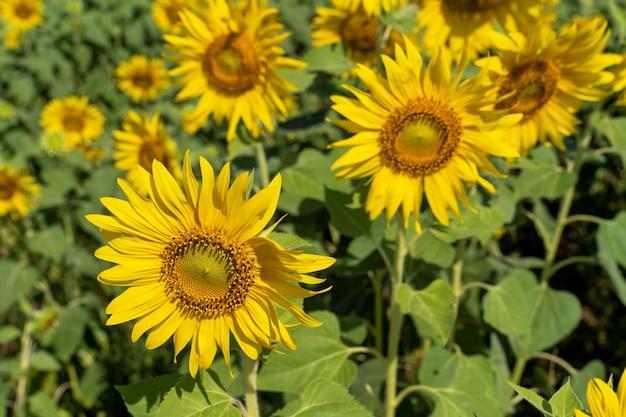 Tournesols jaunes en fleurs dans le jardin