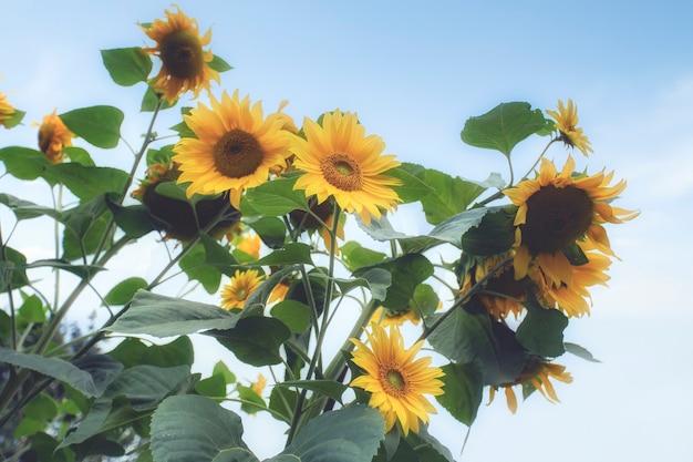 Tournesols jaunes frais lumineux dans le ciel bleu avec espace de copie beau champ coloré de paysage naturel