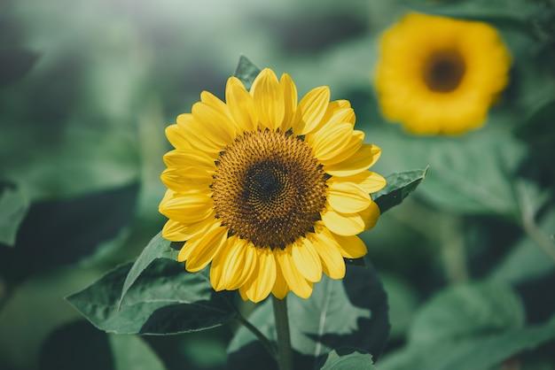 Tournesols avec la lumière du soleil dans le domaine. focus de sélection. ton vintage