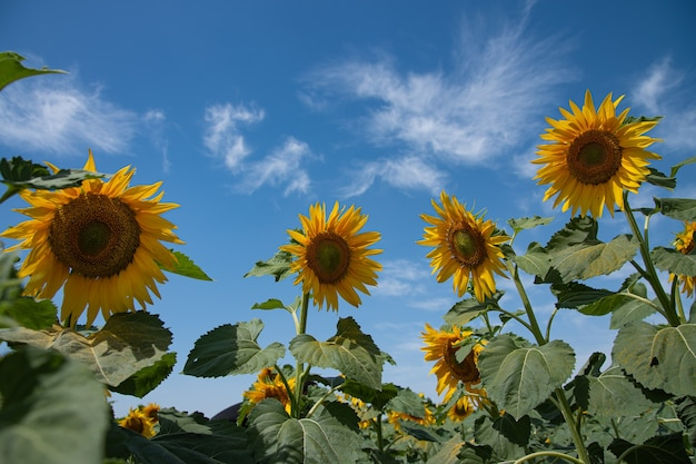 Tournesols lumineux et jaunes dans un champ sur une journée d'été ensoleillée