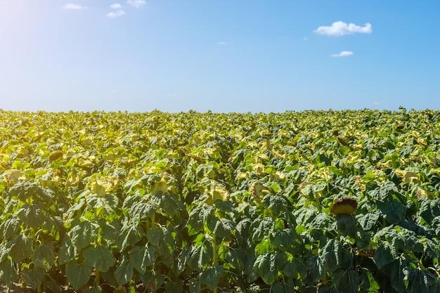 Tournesols en phase de remplissage des graines, dans un champ, sous un ciel bleu avec des nuages
