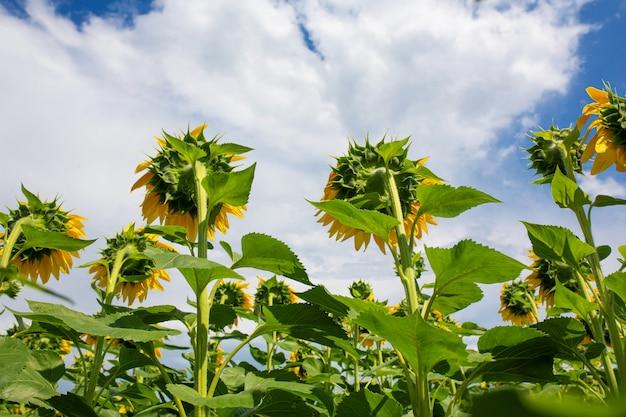 Tournesols sur le terrain par une belle journée d'été ensoleillée. graines de tournesol.