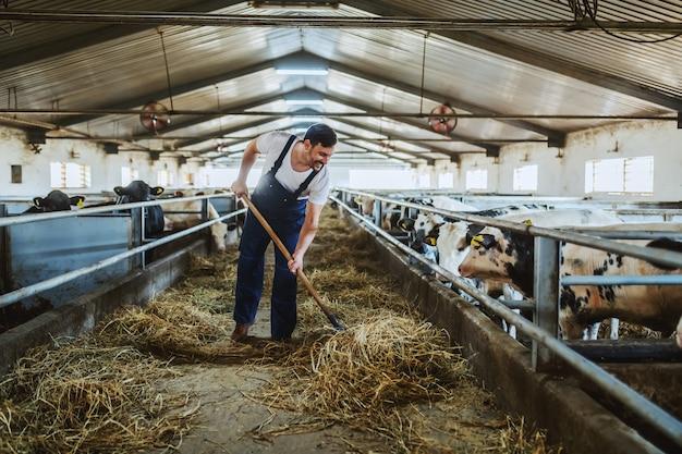 Sur toute la longueur du beau fermier caucasien dans l'alimentation des veaux avec du foin. intérieur stable.