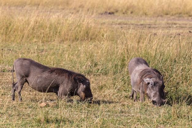 Toute ma vie à genoux warthogs dans le maasai mara kenya afrique