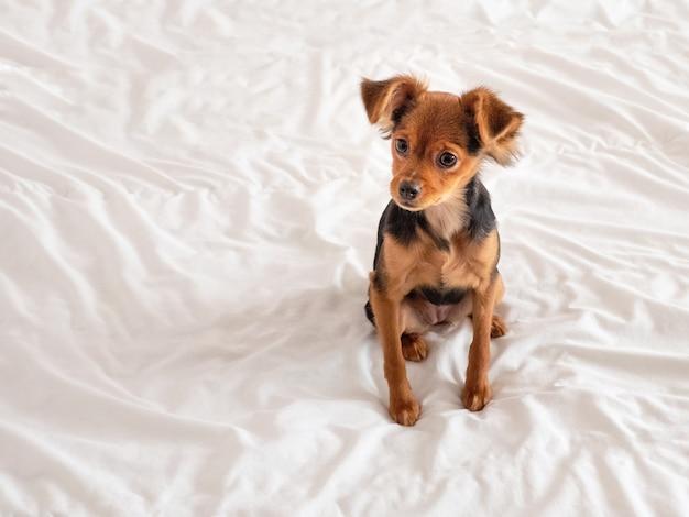 Toy terrier, gros plan. chien terrier russe
