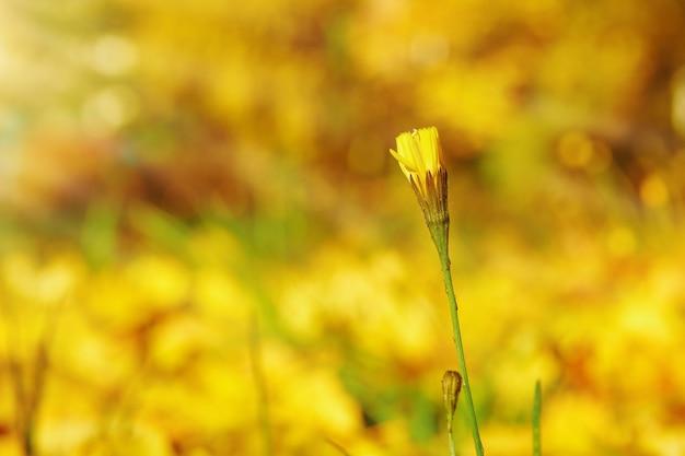 Tragopogon jaune qui fleurit sur un pré dans une matinée ensoleillée. faire pousser des fleurs dans le jardin. plantes médicinales. vue rapprochée.