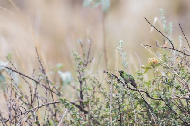 Trainbearer green-tailed (lesbia nuna), beau spécimen d'une variété de colibri