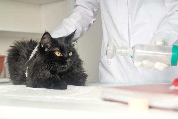 Traiter un chat pour l'asthme avec un inhalateur.