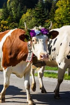 Transhumance annuelle avec des vaches