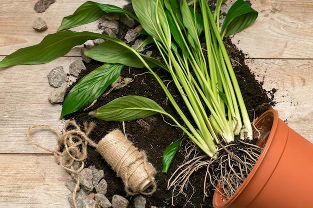 Transplantation de petites pousses de plantes d'intérieur vertes avec de la terre dans un nouveau pot. jardinage à la maison. fond de macro de fleurs. concept écologique, biologique, écologique, artisanal
