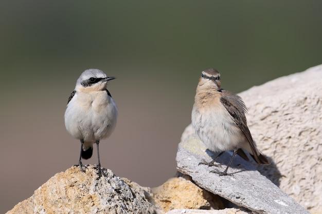 Le traquet du nord ou traquet (oenanthe oenanthe) mâle et femelle se tient ensemble sur un rocher