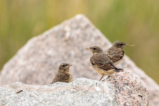 Traquet motteux juvénile, trois jeunes oiseaux assis sur des rochers avec une nature verdoyante