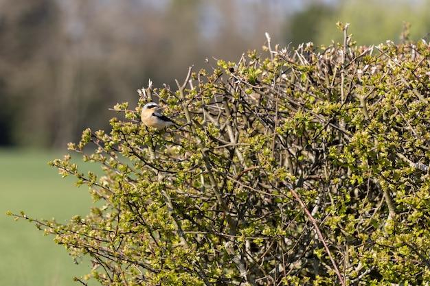 Traquet motteux (oenanthe oenanthe) reposant dans une haie au soleil du printemps