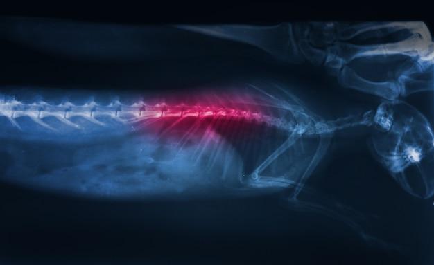 Traumatisme de l'image radiographique de la colonne vertébrale de lapin