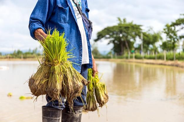 Travail des agriculteurs. les semis de riz sont prêts à être plantés avec une mise au point douce et une lumière en arrière-plan