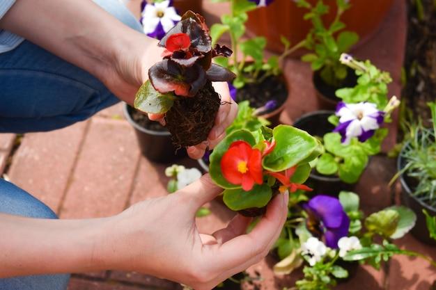 Travailler dans le jardin. la culture des plantes. planter des plants de fleurs.