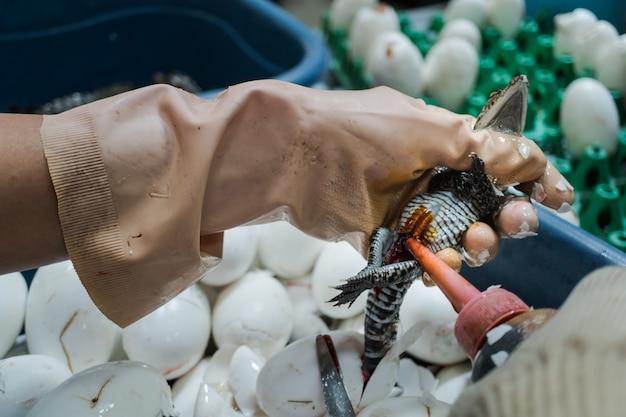 Un travailleur laisse tomber un désinfectant liquide antiseptique sur la plaie après avoir coupé le cordon ombilical du bébé
