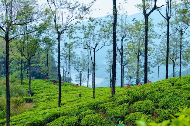 Les travailleurs récoltent sur une plantation de thé au sri lanka