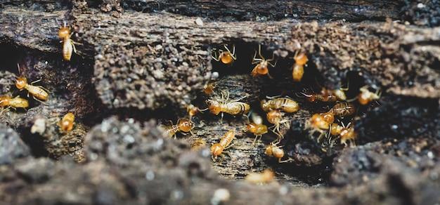 Travailleurs de termites petits termites travailleurs de termites réparant un tunnel mise au point sélective