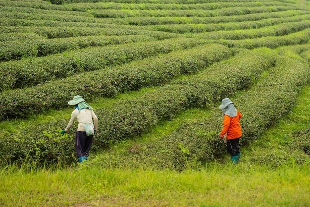 Travailleuse, cueillette de feuilles de thé vert à la ferme de thé