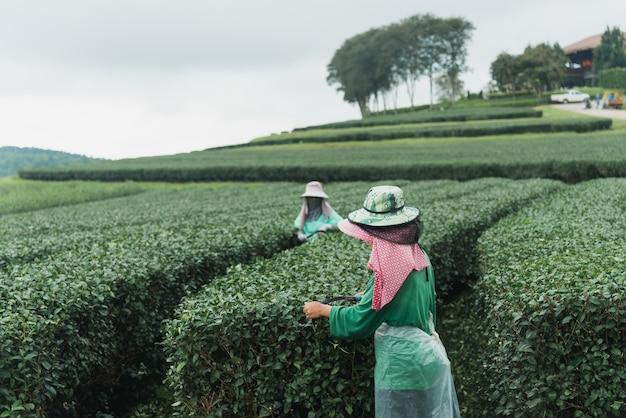 Travailleuse récoltant du thé vert dans la ferme à thé