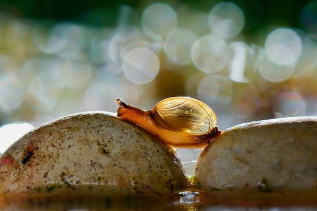 Traversée d'escargots sur l'eau