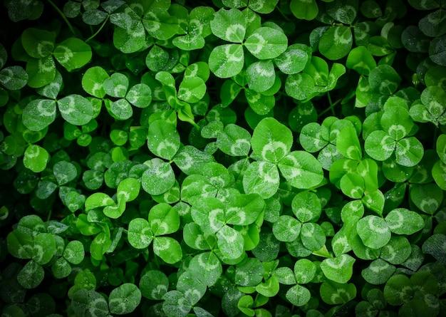 Trèfle plante verte