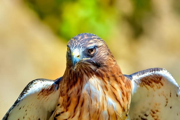 Très beau faucon doré en alerte