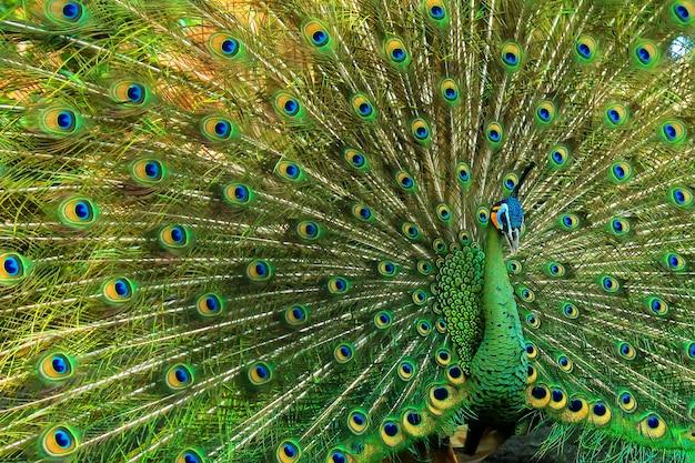 Très beau paon vert