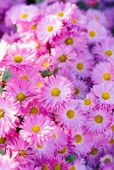 Très beaux chrysanthèmes rose pourpre. fond fleur