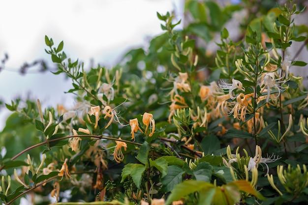Très belle plante de chèvrefeuille dans le bon jour