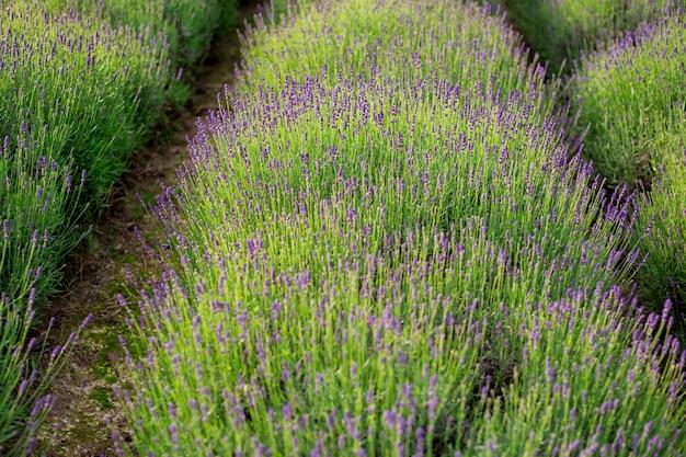Très belle vue sur les champs de lavande. fleurs de lavande en fleurs de champs parfumés en rangées interminables. région provence de france.