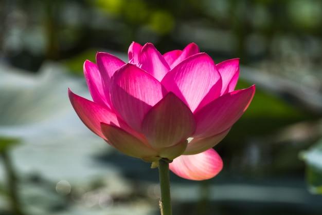 Très grande fleur de lotus. miracle rose. delta de la volga. russie.