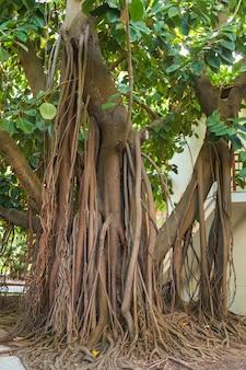 Une très grande plante à caoutchouc avec de fortes racines poussant dans un parc urbain