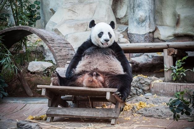 Très gros panda au zoo de thaïlande