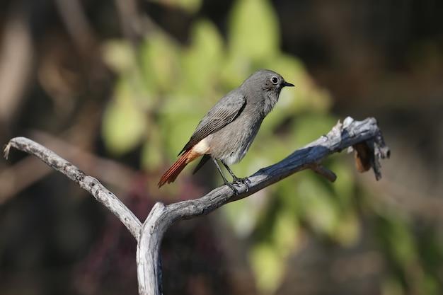 Un très gros plan d'une femelle rougequeue noir (phoenicurus ochruros) en plumage d'hiver sur une branche et sur le sol près de l'abreuvoir.